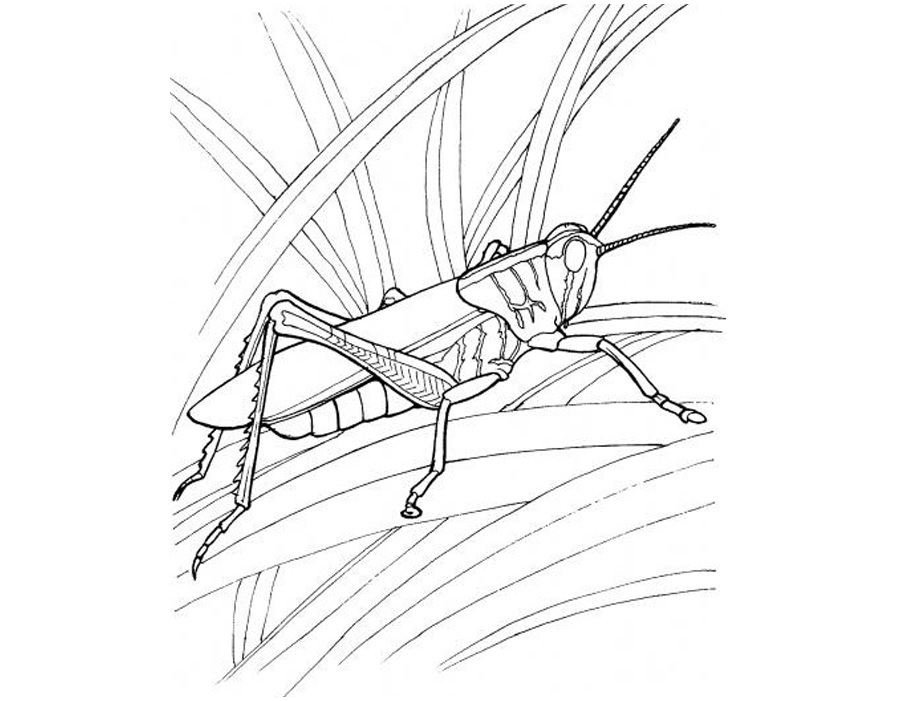 free-animals- Grasshopper-printable-coloring-pages-for-preschool