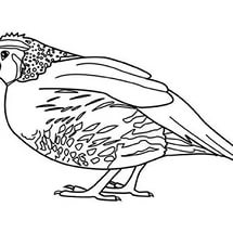 free-animals-Quail-coloring-pages-for-preschool