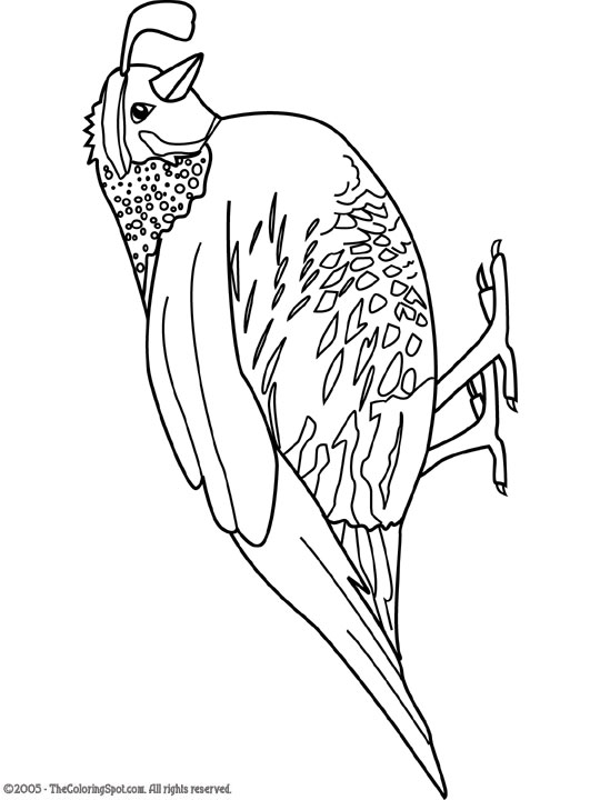... Quail : fun coloring pages, color posters, worksheets, and handwriting