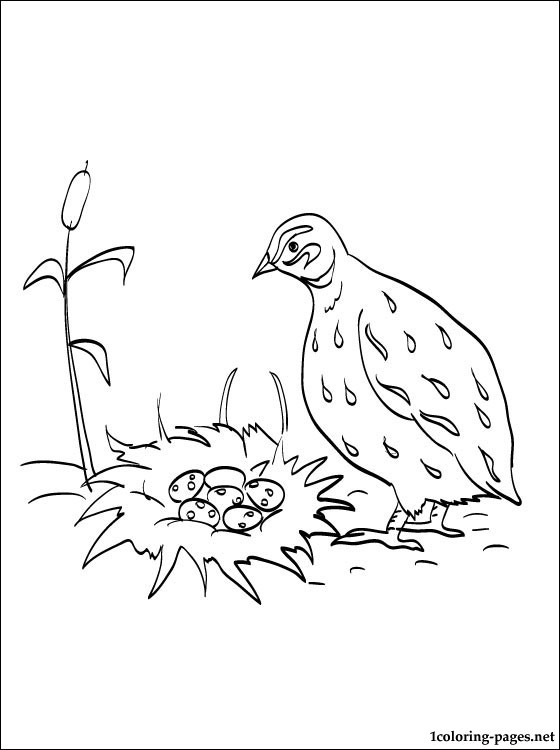 free-animals-Quail-printable-coloring-pages-for-kids