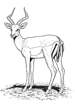 free-animals-antelope -printable-coloring-pages-for-preschool
