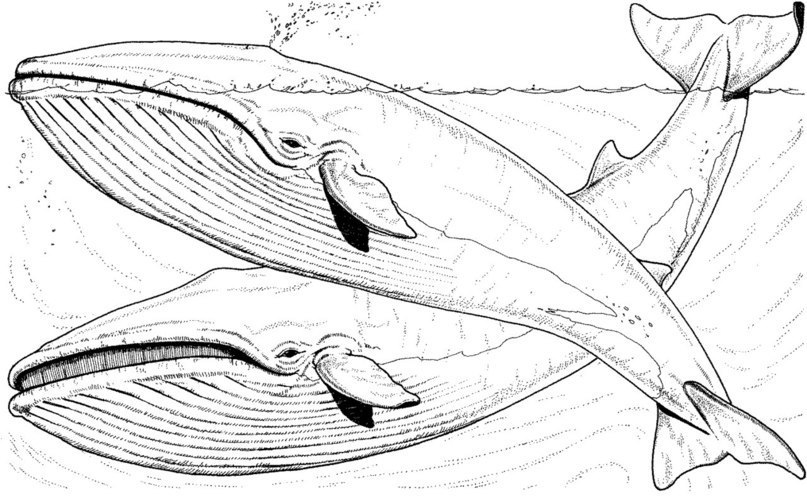 free animals whale printable coloring pages for adults - Coloring Pages Whales Dolphins