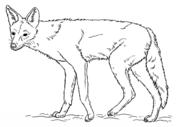 jackal-coloring-page