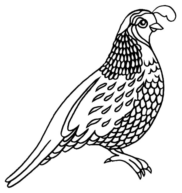 Line Drawing Quail : Quail coloring pages for preschool and
