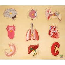 organs bulletin board for kids