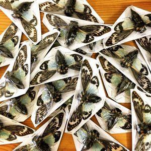 free cicadas craft idea for kid