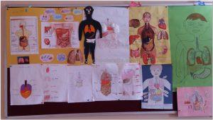 human-bodies-bulletin board-ideas