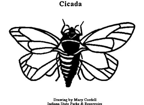 cicada_coloring