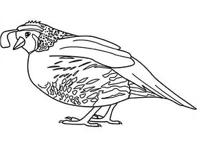 free-animals-Quail-printable-coloring-pages-for-kindergarten