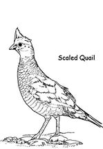 free-animals-Quail-printable-painting-pages-for-preschool