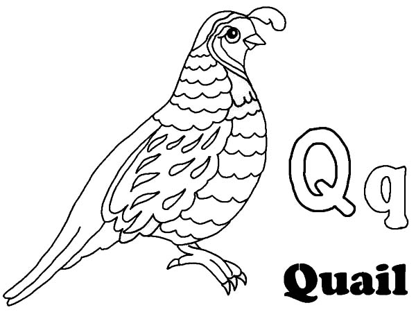 quail-alphabet-q-is-for-coloring-page-236633