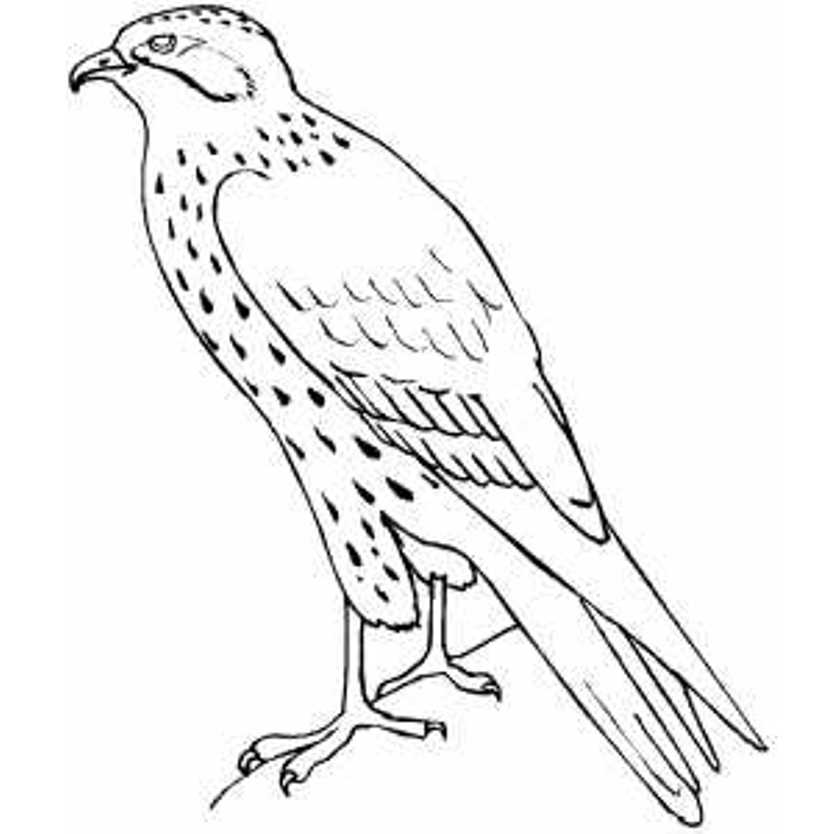 standing-falcon-bird-coloring-pages