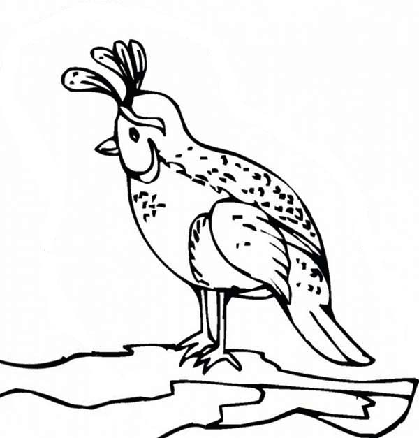 valley-quail-coloring-page-color-luna